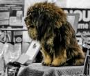 Elevage : <b>Les Lions Du Tibet</b> <span class='click'><a href='/eleveur,fiche,301,149318.html'>Ouvrir la fiche de l'éleveur</a></span>
