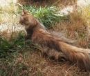 Elevage : <b>Chaman'jazz'cat</b> <span class='click'><a href='/eleveur,fiche,156,149024.html'>Ouvrir la fiche de l'&eacute;leveur</a></span>