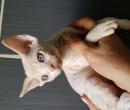 Elevage : <b>Des Cats De Choc</b> <span class='click'><a href='/eleveur,fiche,152,100214.html'>Ouvrir la fiche de l'éleveur</a></span>