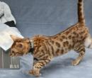 Elevage : <b>Wind Of Cats</b> <span class='click'><a href='/eleveur,fiche,129,150578.html'>Ouvrir la fiche de l'éleveur</a></span>