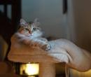 Elevage : <b>Chaman'jazz'cat</b> <span class='click'><a href='/eleveur,fiche,156,149024.html'>Ouvrir la fiche de l'éleveur</a></span>