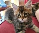 Elevage : <b>Cats2kat</b> <span class='click'><a href='/eleveur,fiche,143,151862.html'>Ouvrir la fiche de l'éleveur</a></span>