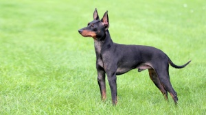 English toy terrier, black and tan