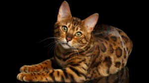 Chaton bengal loof brown tabby a rosettes