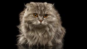 Jolis petits chatons highland