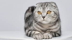 Scottish Fold : Origine, Description, Prix, Santé, Entretien, Education
