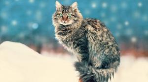Cherche chaton sibérien brown tabby mâle