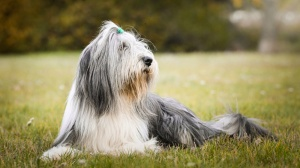 Bearded Collie : Origine, Description, Prix, Santé, Entretien, Education