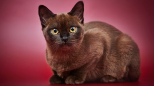 Asian Shorthair : Origine, Description, Prix, Santé, Entretien, Education