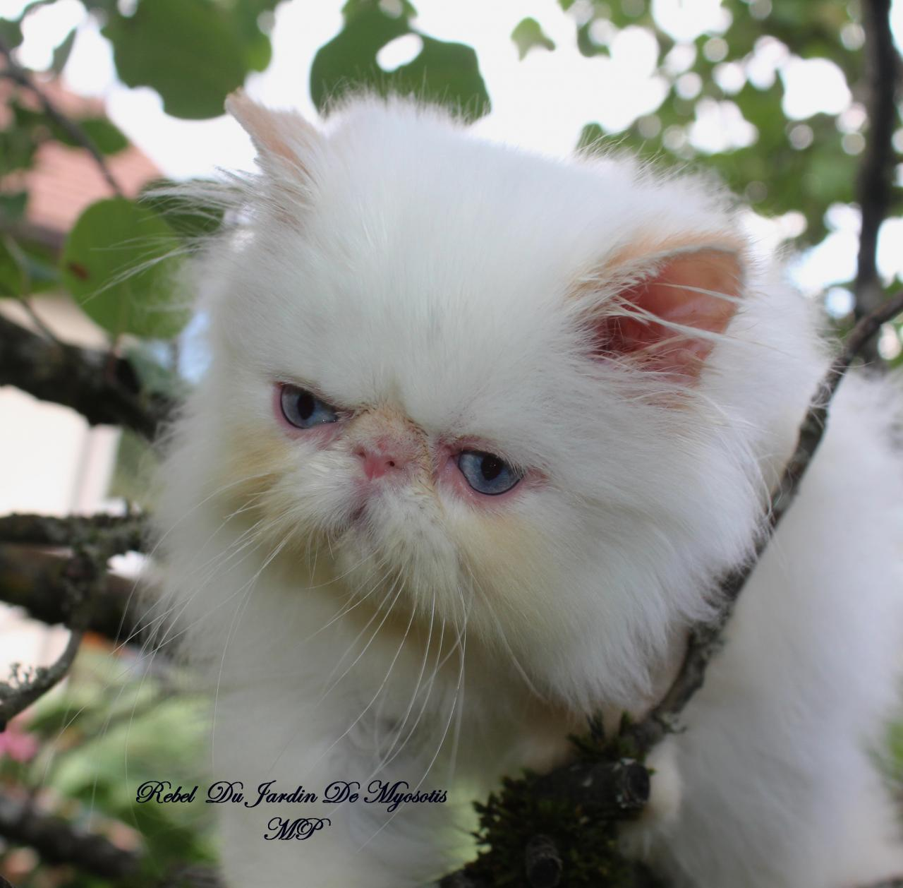 Chatons persan colour point