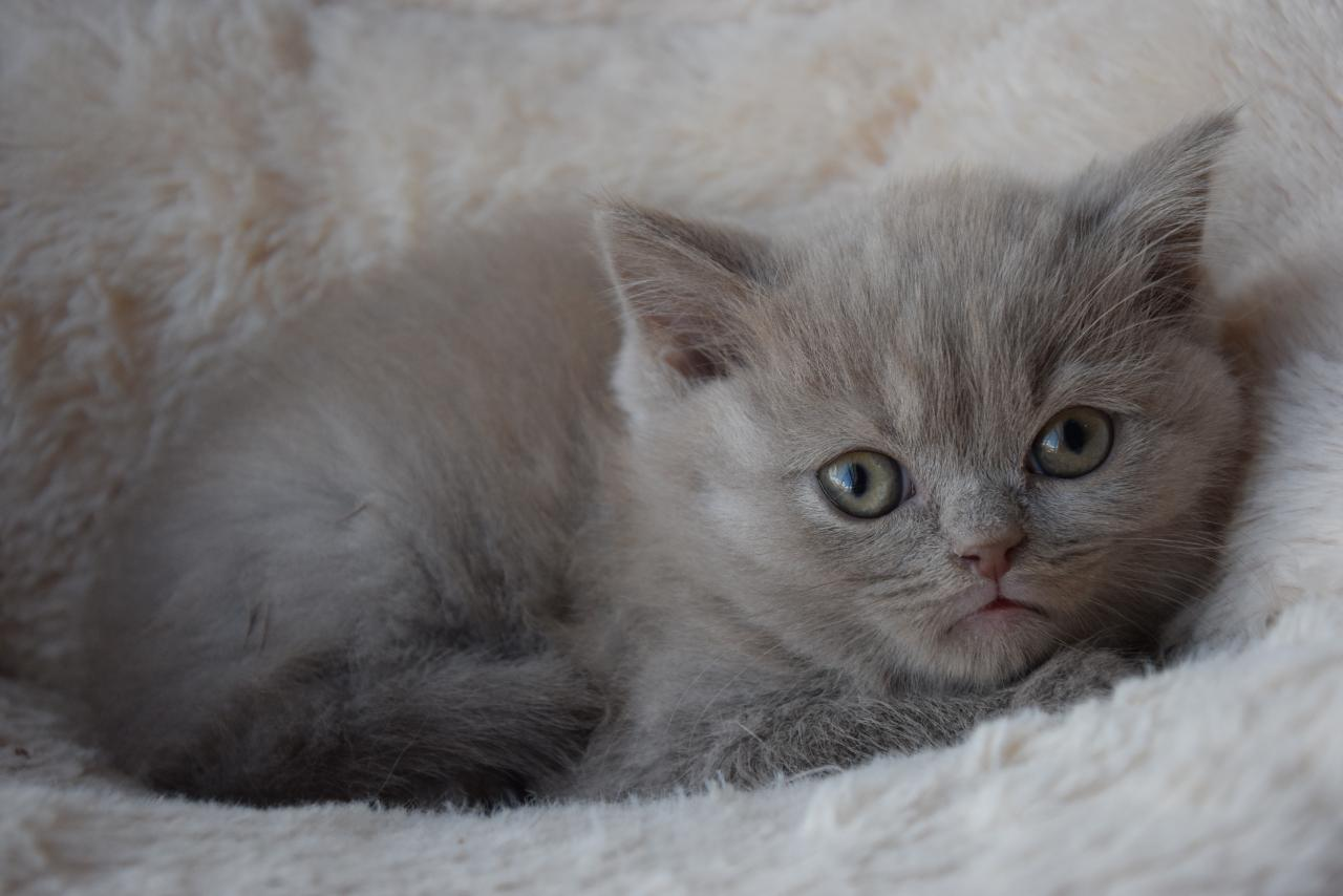 British shorthair loof