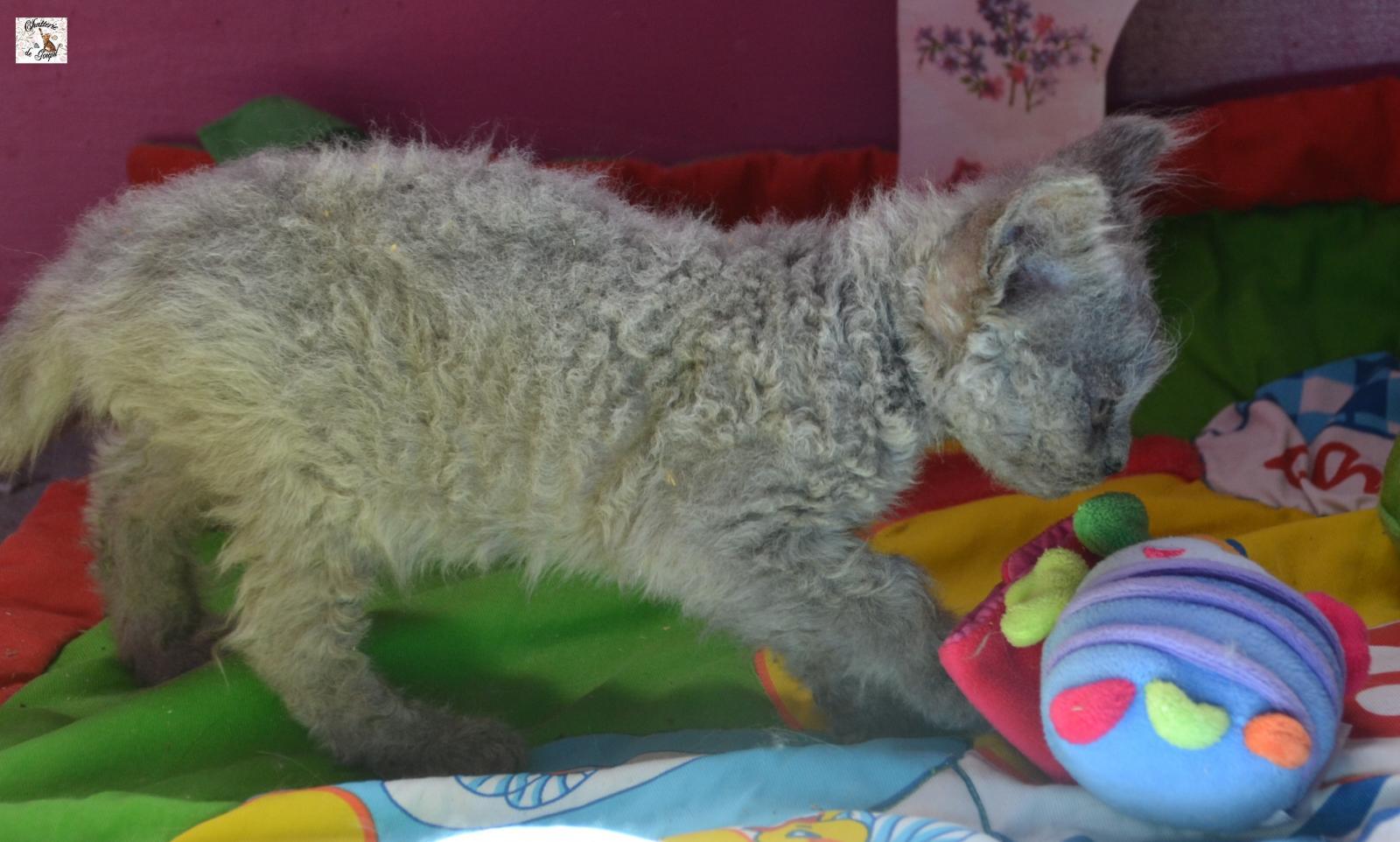 Chaton mâle selkirk rex poil court