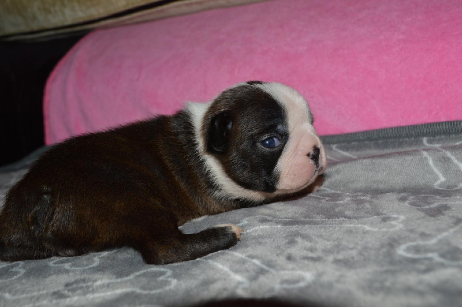 Chiot femelle boston terrier