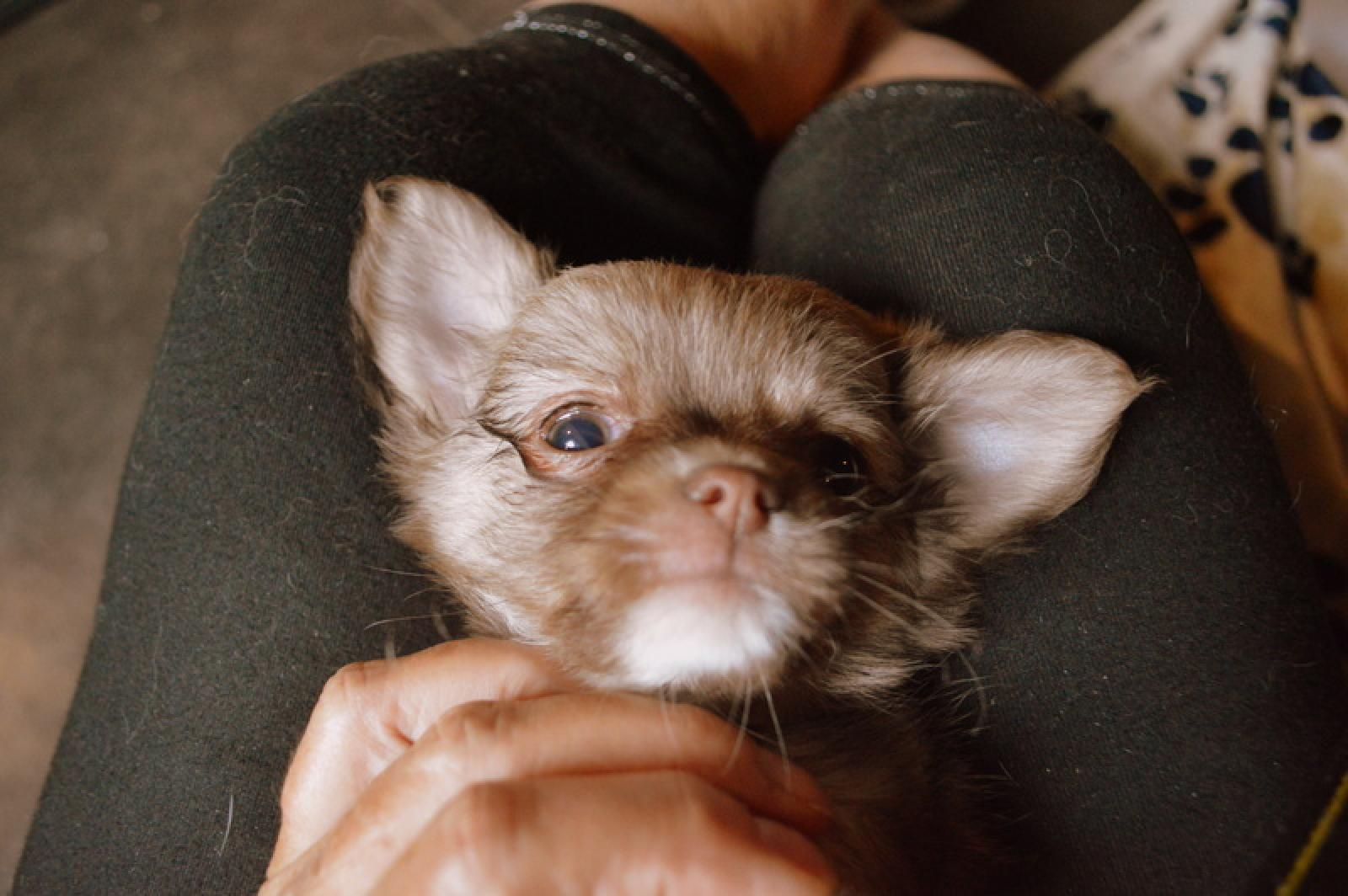 Chiot mâle chihuahua à poil long