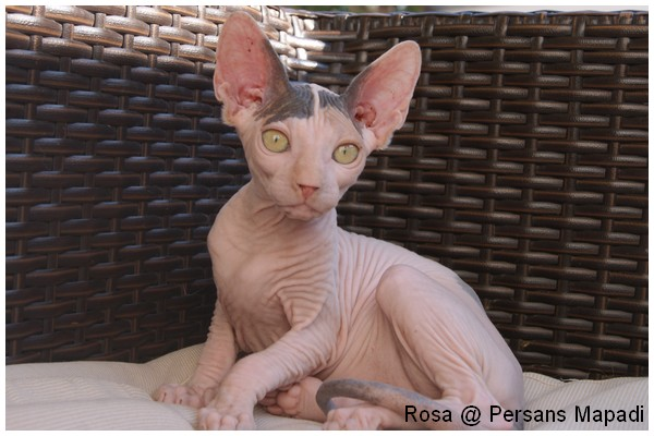 Adorables chatons sphynx