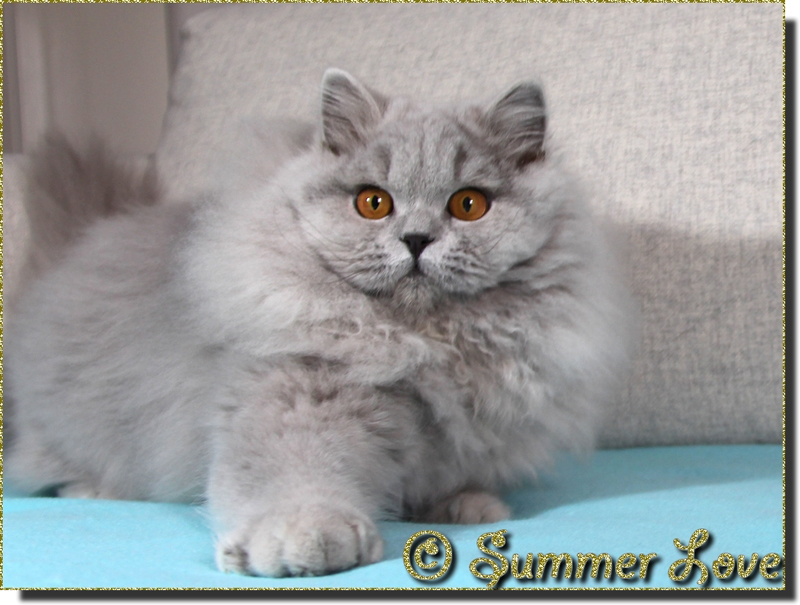 Jeunes adultes british longhair et shorthair pure race (pedigree)
