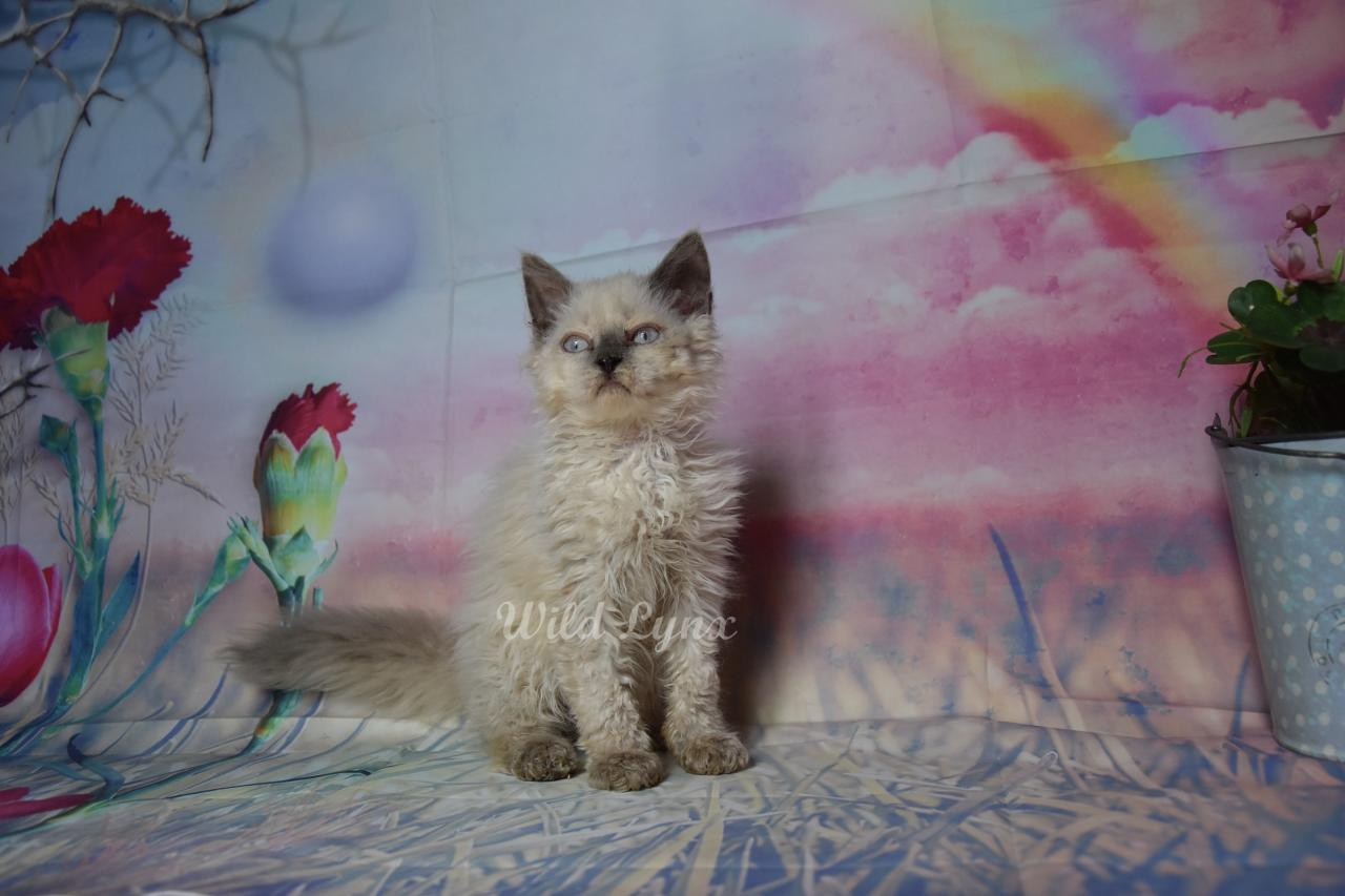 Disponibles adorables chatons selkirk rex loof