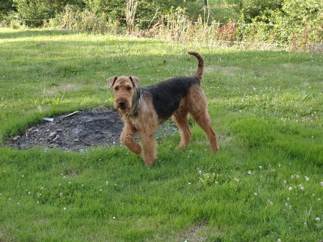 Naissance portee airedale terrier