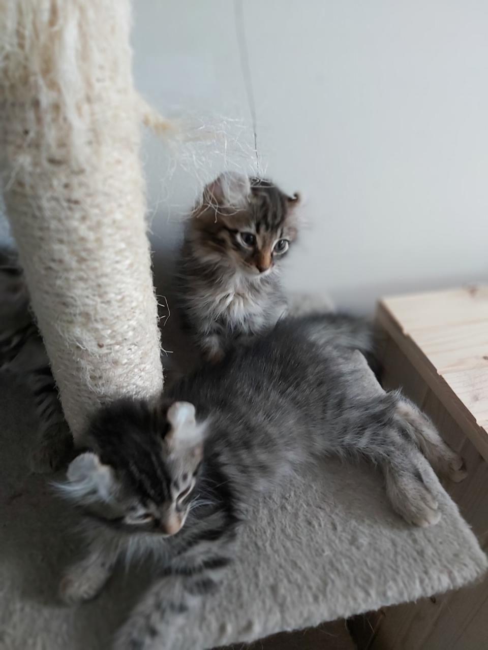 Chatons américan curl