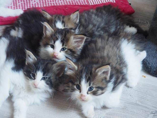 Tres beaux chatons norvegiens loof