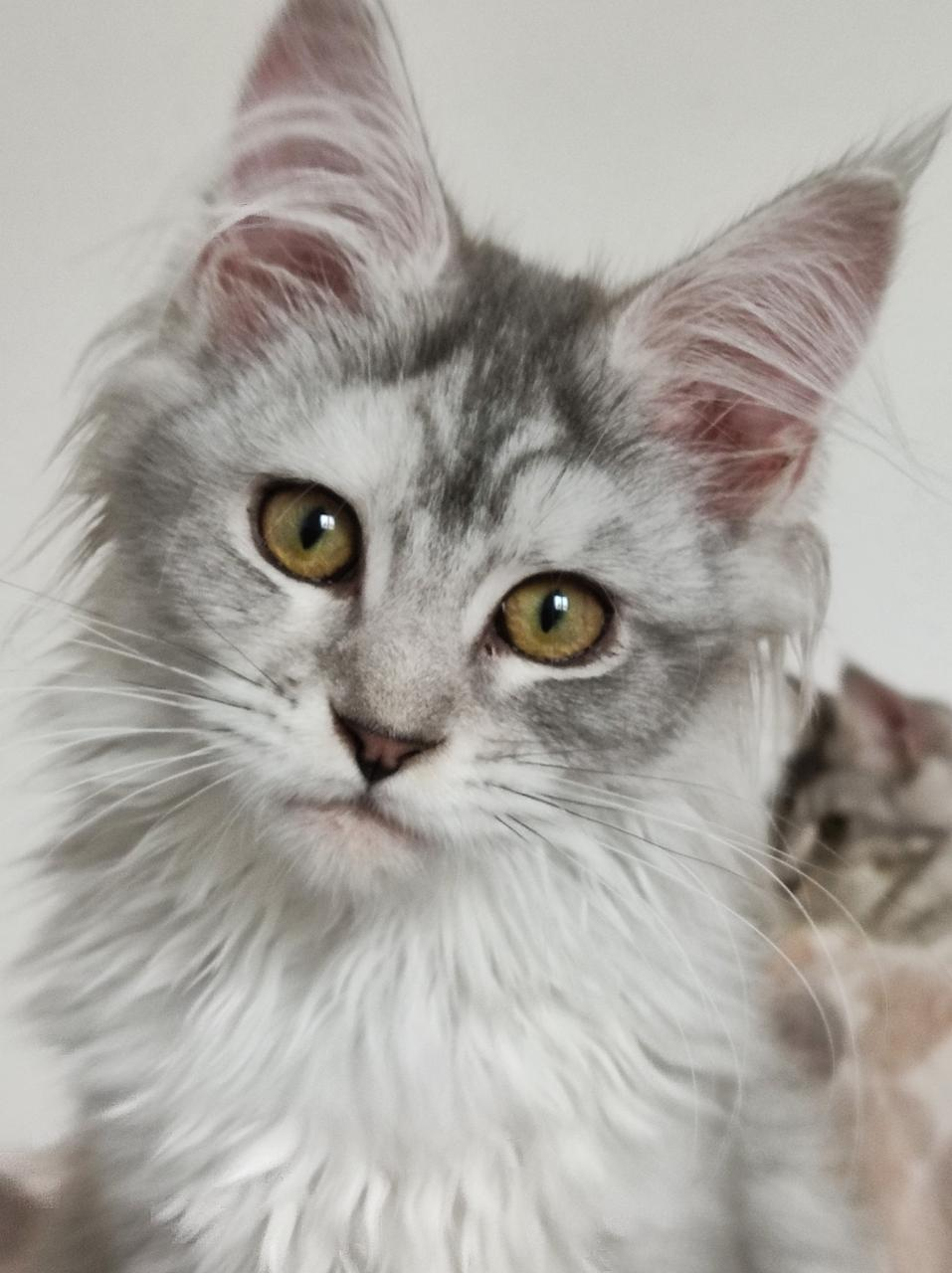 A réserver chatons maine coon loof