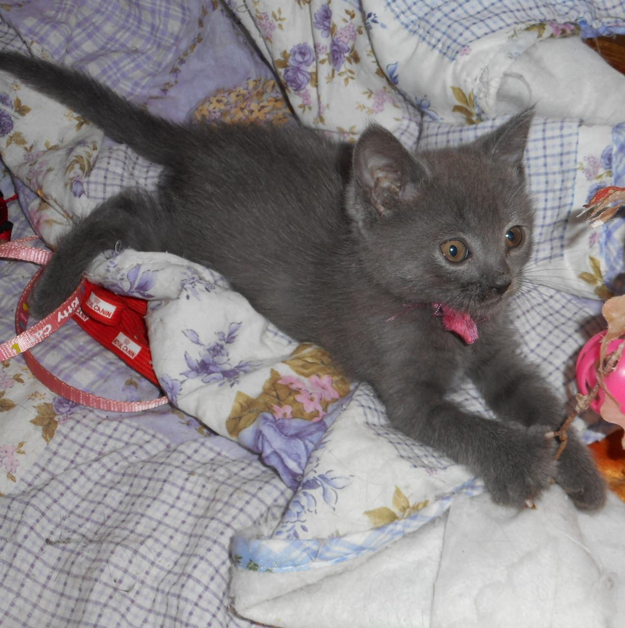 Chatons chartreux loof a reserver