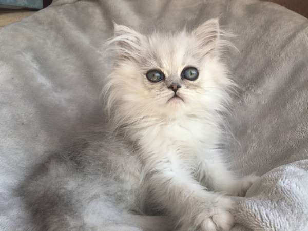 Chatons persan et exotic shorthair silver shaded