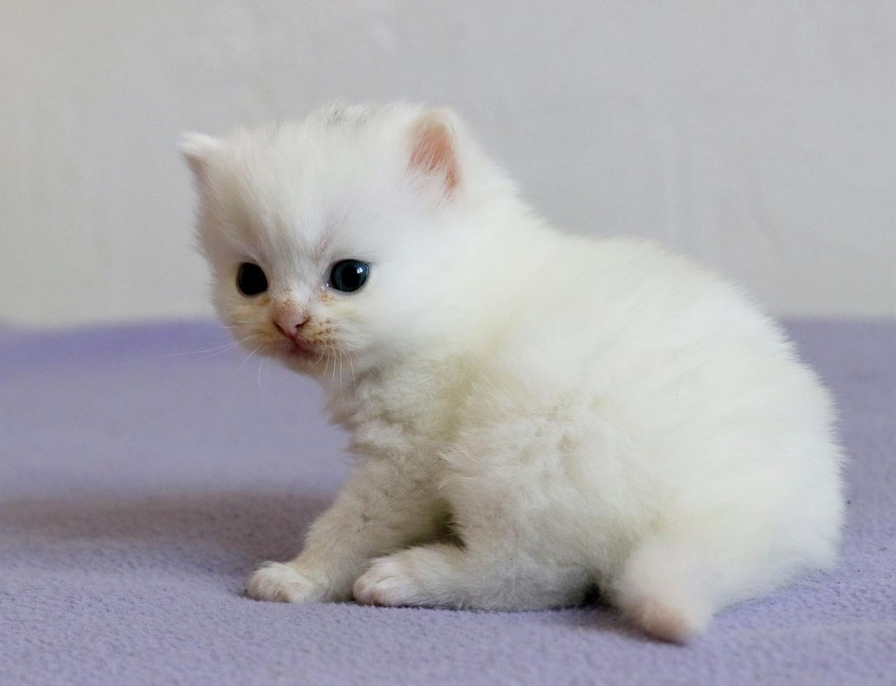 Chaton mâle british poil long blanc