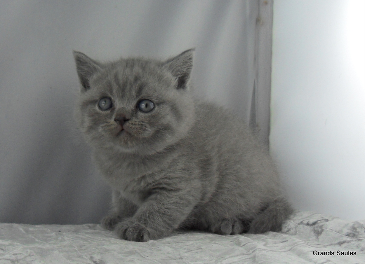 Superbes chatons britih shorthair