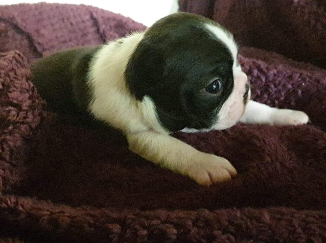 Chiot male boston terrier lof