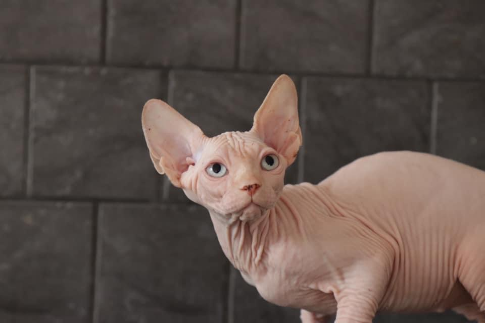 Chaton sphynx loof disponible