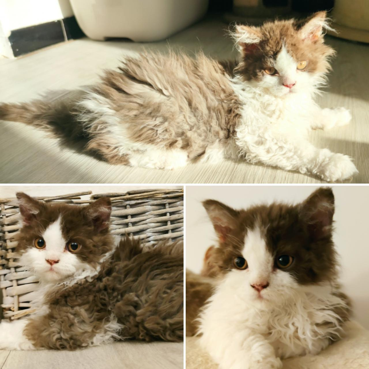 Selkirk rex loof chat mouton