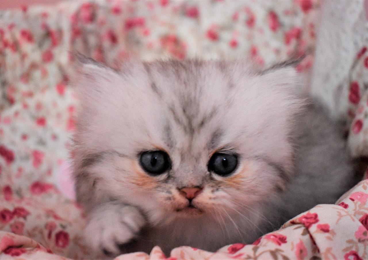 3 adorables petits chatons persan loof