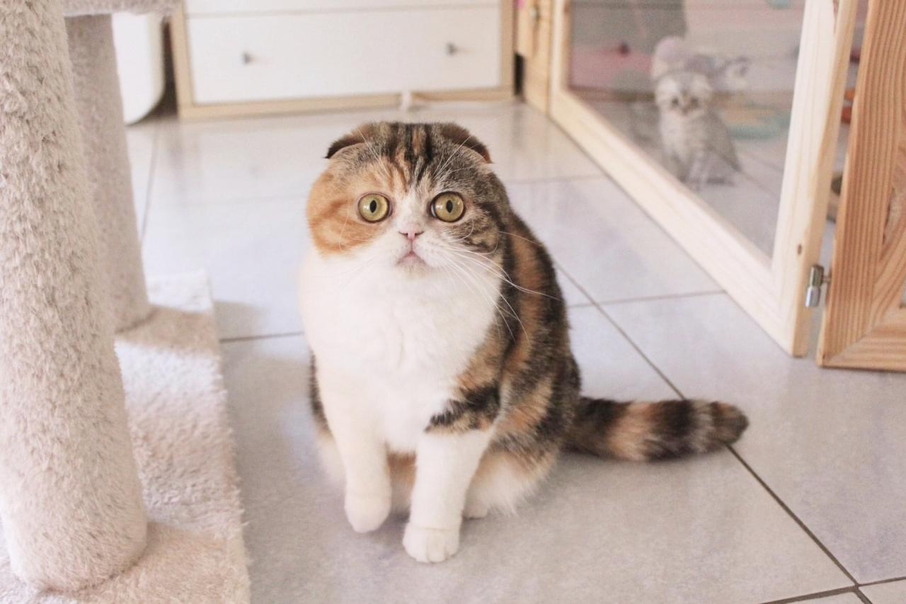 Chatte scottish fold loof  2 ans
