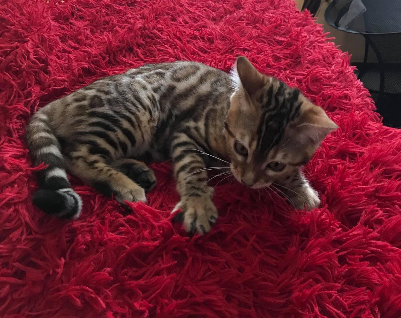 Romance siti, femelle bengal brown tabby ( spotted /rosettes)