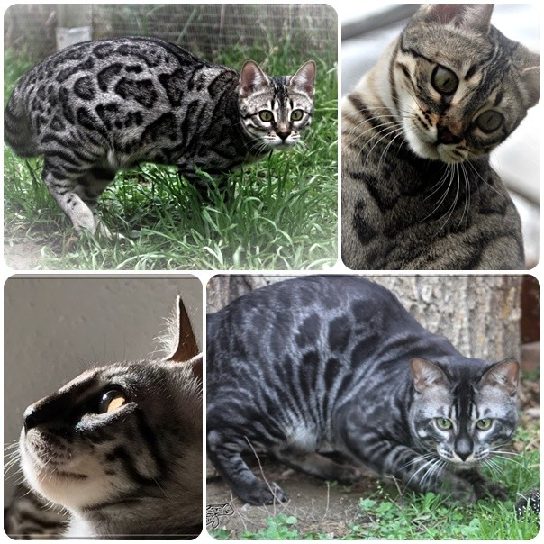 Superbes chatons bengal au look sauvage