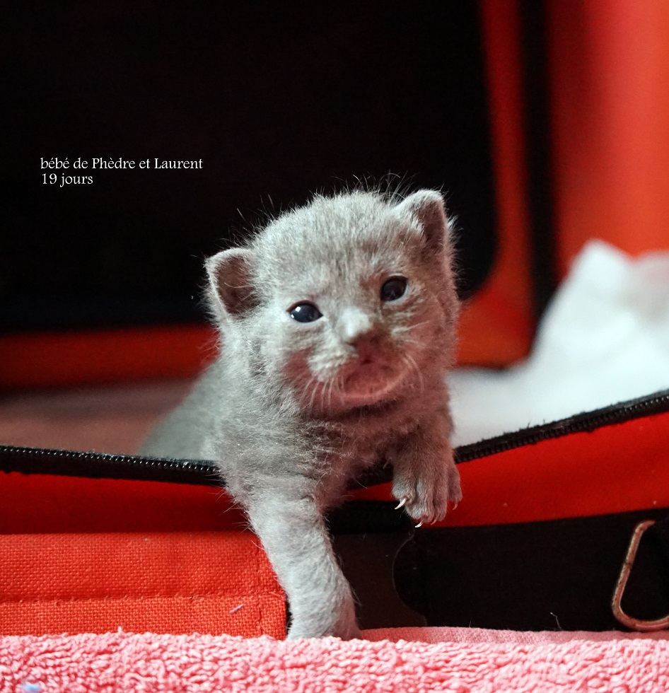Adorables chatons chartreux loof