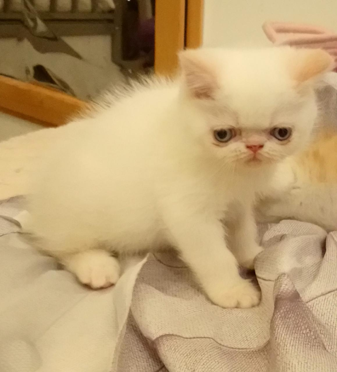 Mâle exotic shorthair red point