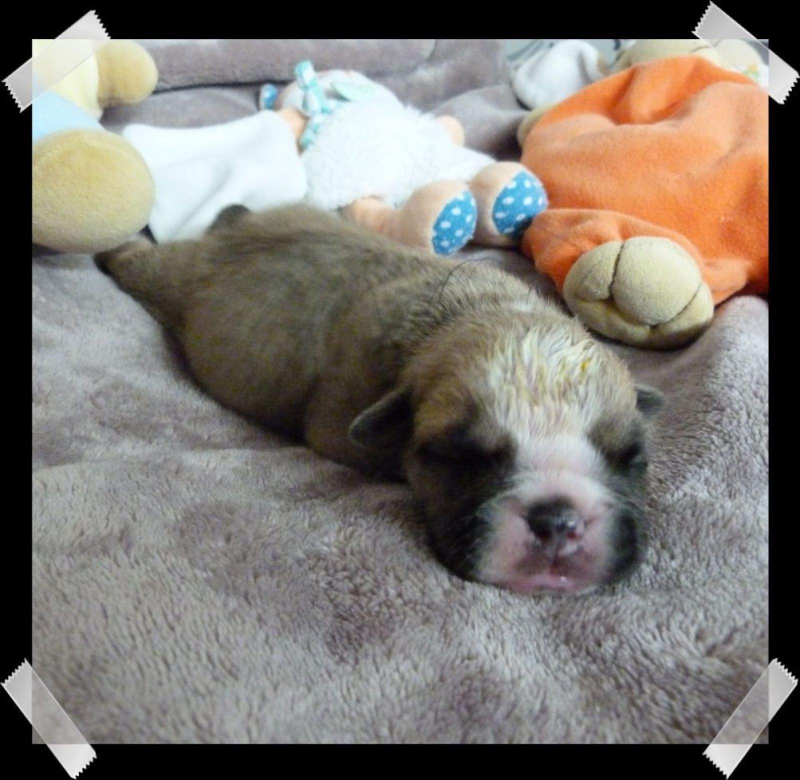 Chiot mâle bulldog
