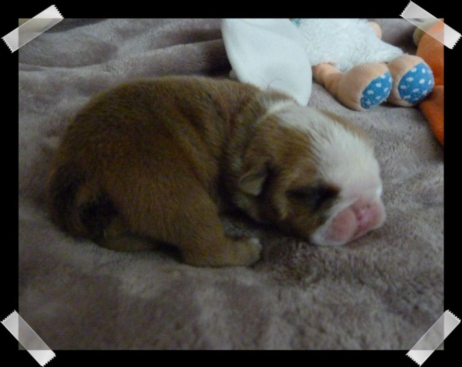 Chiot femelle bulldog