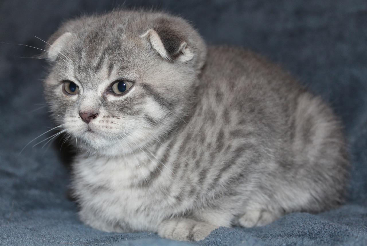 Magnifiques chatons scottish fold à reserver