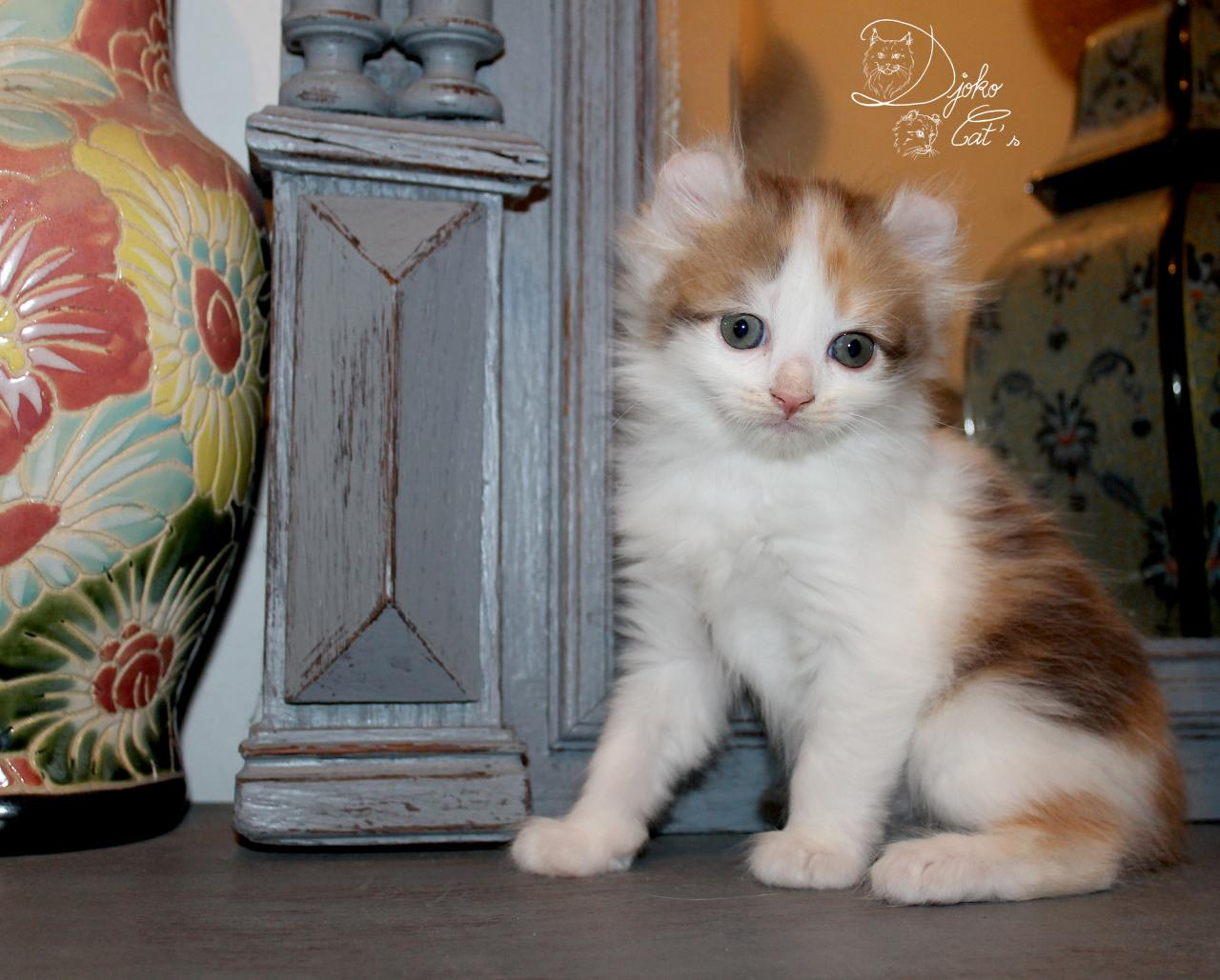 Rare et athypique chatons american curl