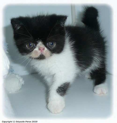 Chatonne exotic shorthair