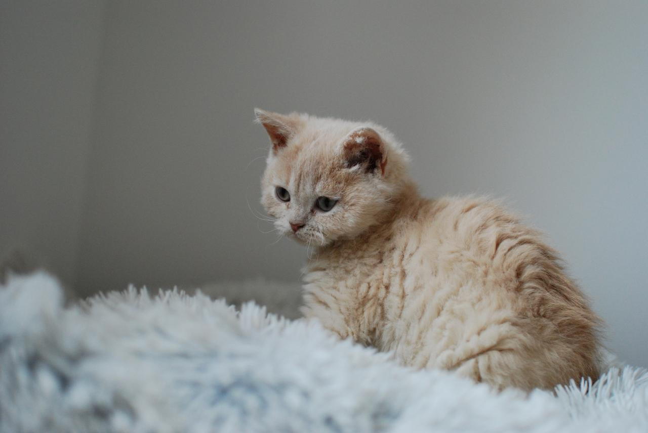3 selkirk rex disponibles