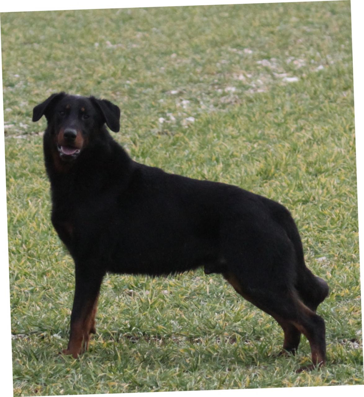 Adorables chiots beaucerons