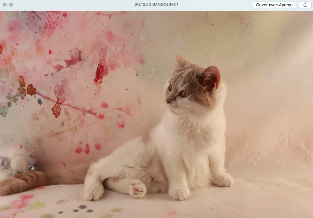 Chatons british shorthair loof fawn tortie et blanche