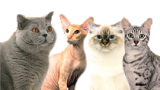 Chercher un éleveur de chats dans l'annuaire des élevages felins par races