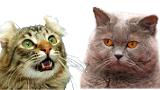 Chercher un chat ou une chatte pour saillie