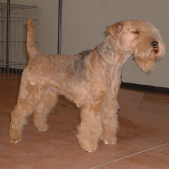 Race chien Lakeland terrier