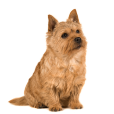 Race chien Norwich terrier